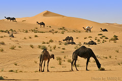 Camels life- Explore (TARIQ-M) Tags: life texture landscape sand waves desert ripple dunes ripples camels riyadh saudiarabia hdr  canonefs1855        canonef70200mmf4lusm     canon400d          aldahna