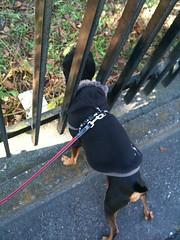 散歩なう。ミッション遂行中の黒犬。