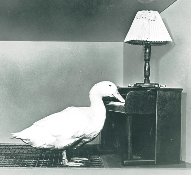 Piano-playing duck
