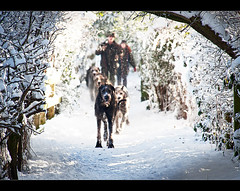 Welcoming committee, * A very merry Christmas to you *. Explored Frontpage (Ianmoran1970) Tags: dog snow cold ice dogs landscape breath freezing explore fp frontpage crosby merrychistmas explored ianmoran ianmoran1970