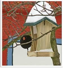 Amselmann Kurti und das Vogelhäuschen - Blackbird Kurti and the bird box (4)