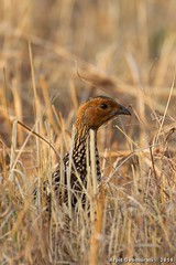 Painted Francolin (Francolinus pictus) (Arpit - The Waders) Tags: painted francolin pictus francolinus
