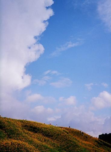 藍天白雲金針花