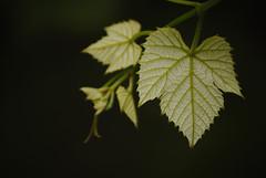 Genre / letkp (Balzs Pusztai) Tags: leaf grape levl szl