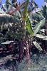 Afgoi, Somalia (aikassim) Tags: farm bananas agriculture somalia hornofafrica eastafrica مزرعة afgooye الصومال afgoi shebeelahahoose