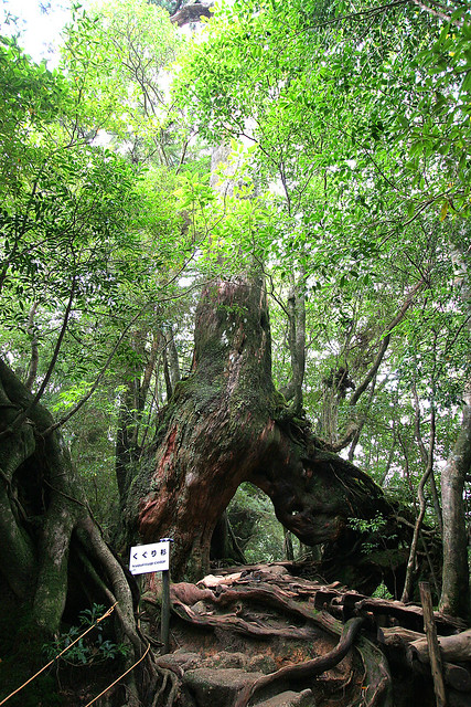 Yakushima Tree - 01