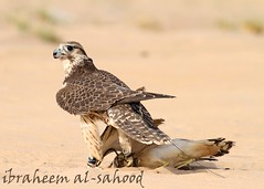 busted  (sahoodvich) Tags: life wild bird animal sport canon fly hunting flight arab falcon kuwait ibrahim  khaled  q8                 gyer             sahoodi   alsahood sahoodvich  alhawedi