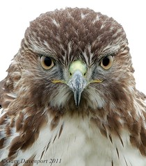 RTH Portrait (Garebear400) Tags: wild portrait bird nikon hawk wildlife redtailed d300 rth greatphotographers fantasticnature