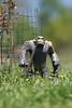 Igoo the Rock Ape - Breaking Free (the diplodocus) Tags: toy herculoids adaptall