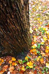 Wet bark (Raoul Pop) Tags: autumn fall colors leaves rain canon flickr seasons unitedstates maryland fallfoliage treetrunk bark fallenleaves northbethesda canoneos5d googlephotos