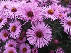 SYMPHYOTRICHUM novae-angliae 'Barr's Pink'