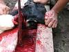 Potong kambing (Mangiwau) Tags: festival indonesia java blood eid goat goats jakarta gore cutting lamb lambs throat dara kambing bogor slaughterhouse sacrifice slaughtering adha splattering sacrificial potong idul dipotong