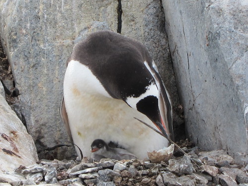 Gentoo Penguin with Chick by jdf_927