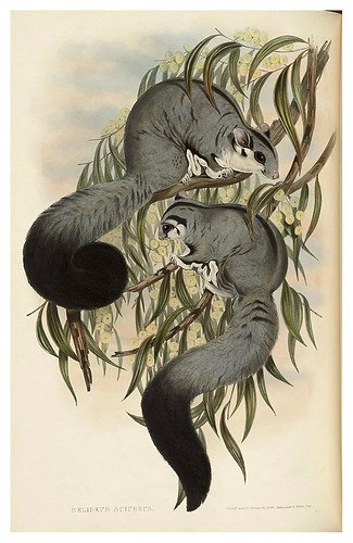 005-Belideus Sciureus-The mammals of Australia 1863-John Gould- National Library of Australia Digital Collections