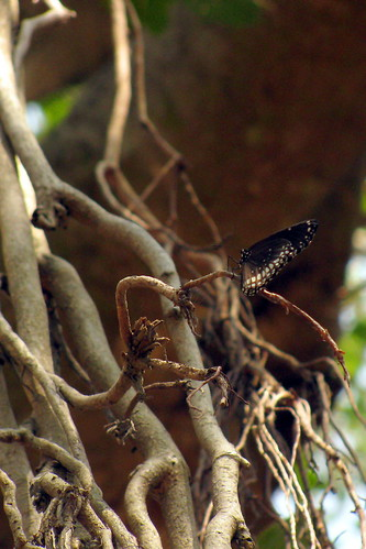 Butterfly on Banyan Tree