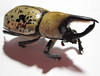 Giant Beetle 2 (Barb ☮) Tags: bug insect scary beetle spotted pinchers