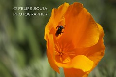 Bee & Orange flower (Felipe Souza Photography (www.felipesouza.org)) Tags: parque brazil orange flower canon photo nice do picture bee campos jordo ecolgico masterphotos