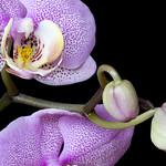 Orchid Phalaenopsis Ambiance
