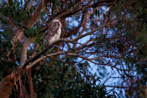 Ferruginous Hawk in the evening