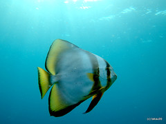 Longfin batfish - Maldives