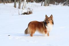 Sheltie (Chickadee (Carole)) Tags: winter dog chien pet snow canada cold nature canon puppy fur sheltie newbrunswick chiot shetland k9 chickadeecarole oneyearoldsheltie
