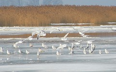 Gulls on the River Ice (Jimbo in Jersey) Tags: winter snow cold tree bird ice water pine river frozen newjersey snowy seagull gull cedar salem brrrr elsinboro