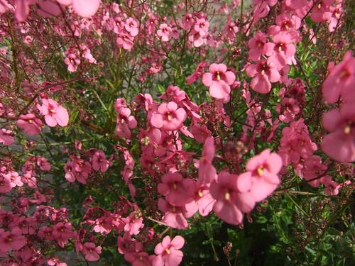 For You Flowers >> DIASCIA personata