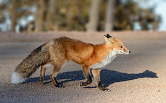 Vulpes vulpes (Fort Photo) Tags: road urban nature mammal nikon colorado wildlife fox co roadside begging begger teller redfox vulpesvulpes pikespeakhighway