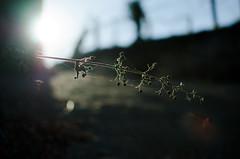 (Jero Pieiro) Tags: sun planta sol nikon marin nikkor seco rama d7000 nikkor35mmf18g jeropieiro