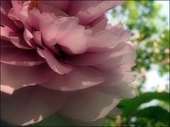 (Tölgyesi Kata) Tags: earthday2011 peony budapest füvészkert botanikuskert botanicalgarden withcanonpowershota620 paeonia paeony bazsarózsa pfingstrosen fleur virág