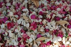 Bougainvillea Bracts (L e n o r a) Tags: flowers israel bougainvillea bracts herzliyapituach