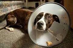 My Poor Baby (Kim Newmoney) Tags: dog bostonterrier sad cone brindle italiangreyhound dogtreat headcone carameleyes bostallian