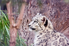 Little snow leopard (Cloudtail the Snow Leopard) Tags: snow animal cat mammal zoo cub kitten jung stuttgart young litter leopard bigcat katze tier wilhelma panthera raubkatze schneeleopard sugetier irbis uncia groskatze
