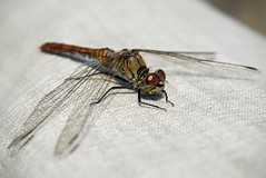 DSC_0402 on my pants, just below the pocket! (Me now0) Tags: dragonfly landed autumn afternoon nearlake park europe nikond5300 basiclens 1855mmf3556 sunny insect        5300