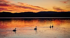 Silhouettes, Norway (Vest der ute) Tags: g7x norway silhouettes earlymorning seascape landscape swans reflections fav25