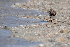 Ruddy Turnstone (bmasdeu) Tags: shorebirds bird seashore seashells bokeh
