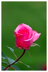 Rose (M V Clikz) Tags: ooty botanicalgarden rose pink flower love outdoor canon mvclickz