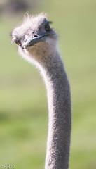 Inquisitive (RJB10) Tags: blinkagain birds dof marwell bokeh 70200mm d300s ostrichhead bird highqualityanimals literoom5
