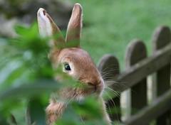 curieux va ! (fabiju) Tags: rabbit nature animal campagne lapin