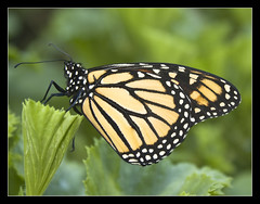"MONARCH BUTTERFLY CLOSED WINGS ""ITS A COLOURFUL LIFE"" (Gib Rock Photography) Tags: orange leaves gardens canon butterfly insect geotagged botanical eos born fly leaf wings legs body butterflies butter monarch flies 1855mm alameda efs positively canon botanical gardens david 1855mm eos eos reyes butterflies efs butterfly monarch 1000d gibraltar 1000d mygearandmepremium mygearandmebronze mygearandmesilver mygearandmegold mygearandmeplatinum exposed"