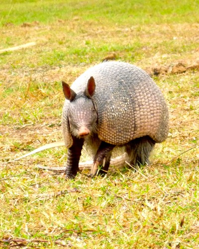 armadillo with an attitude