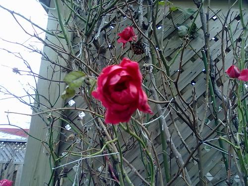 Rose, in December!