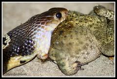 Monocellate Cobra (Stephen Styris) Tags: india cobra assam snakes reptiles tamron70300 snakeeatingfrog canoneos500d snakesofindia monocellatecobra tezpuruniversity stephenstyris dipankaebhagawati
