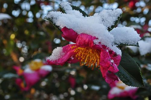 Camellia sasanqua (unknown cv.)