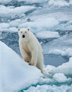 polar bear climbs and looks