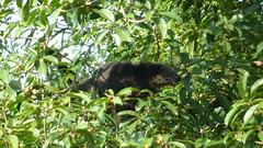 Binturong III (Luiz Edvardo) Tags: thailand nationalpark bearcat binturong asianbearcat arctictisbinturong khaoyai wildlifereserve khaoyainationalpark viverridae palawanbearcat schleichkatze marderbr