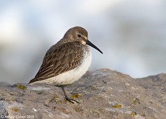 Dunlin - Rock Rest - Explored! (Ashley Cohen Photography) Tags: winter bird nature wildlife british dunlin rhosonsea northwales canon400mmf56l unitedkingdomuk canoneos7d canon14xextendermk2