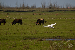 _MG_2538.jpg (WHaselbarg) Tags: nature birds animals swan wildlife nederland thenetherlands vogels natuur dieren flevoland wildanimals zwaan oostvaardersplassen wildedieren heckrunderen wildcows wildekoeien workshopvanstevenruiter