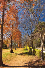 /sunny red maple tree path (michaelrpf) Tags: autumn landscape maple taiwan resort     aowanda