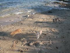 Sardegna, Su Pallosu: la spiaggia dei gatti. (Oasi Felina Su Pallosu) Tags: sardegna unesco gatti coloniafelina supallosu patrimonioumanita